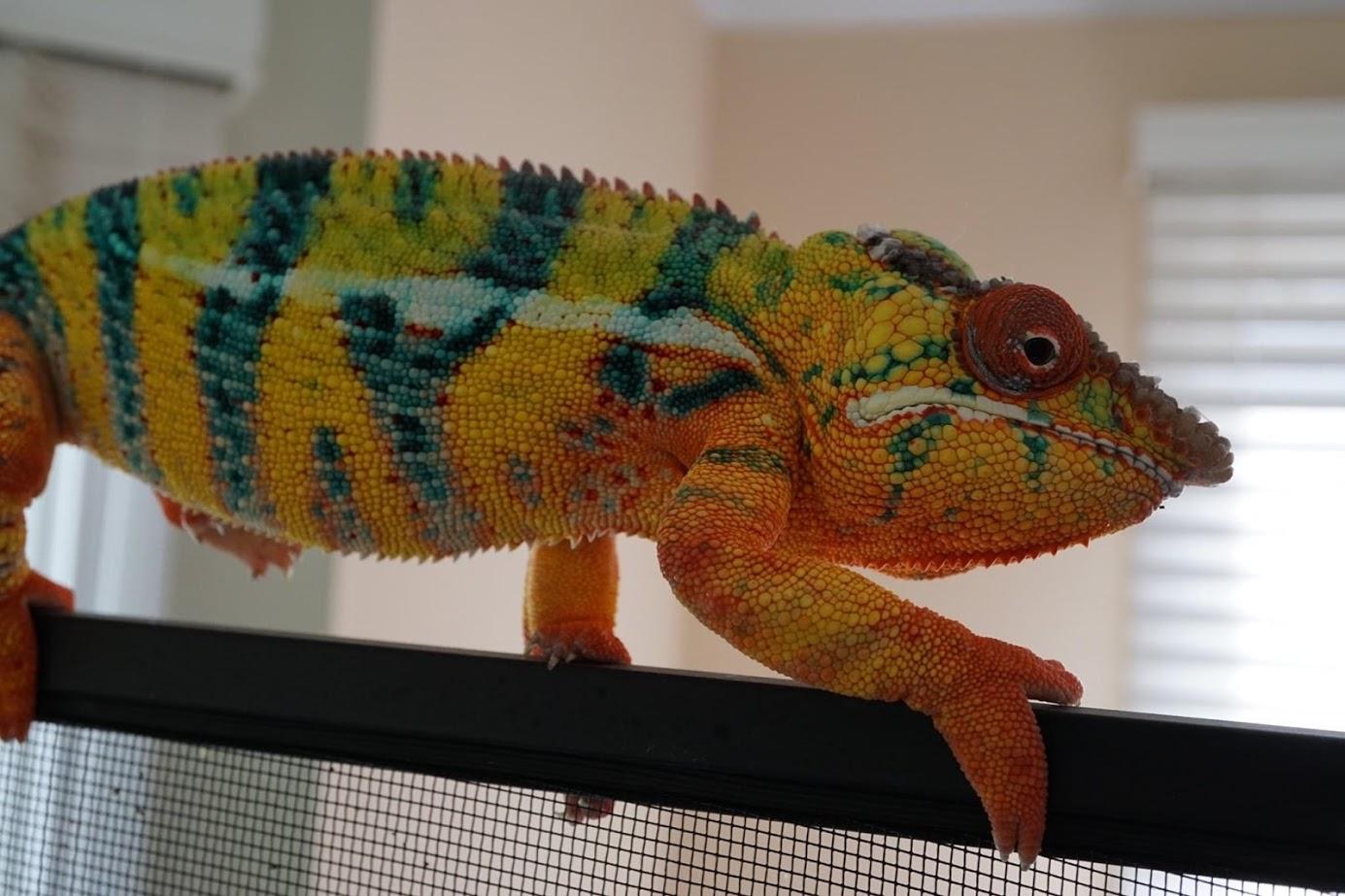 General Husbandry: Furcifer pardalis (Panther Chameleon)